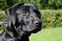 Young Black Labrador Dog Stock Photos
