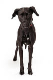 Young black Labrador Retreiver mix standing Stock Photos