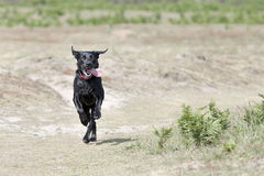 Young Black Labrador Running in the Countryside Royalty Free Stock Photography