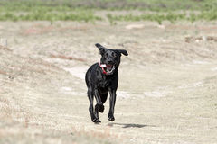 Young Black Labrador Running in the Countryside Stock Image