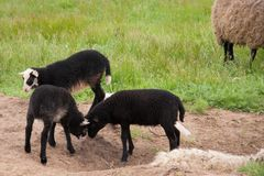 Young black lambs fighting in the pasture royalty free stock photo