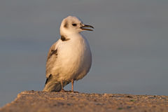 Young Black-Legged Kittiwake Royalty Free Stock Photo