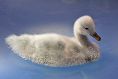 Young black necked Swan Stock Photo