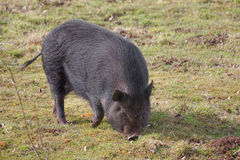 Young black pig Stock Images