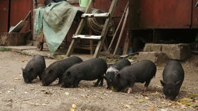 Young black piglets on the farm hog. stock video