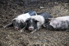 Young black pigs Stock Photo