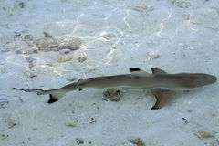 A young black point reef shark Stock Images
