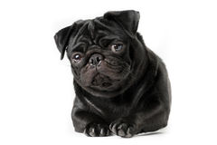 Young black pug dog isolated royalty free stock photo