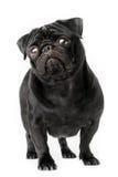 Young black pug dog isolated royalty free stock image