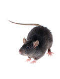 Young black rat. Close-up isolated on white Royalty Free Stock Photos