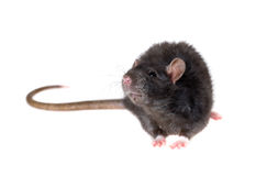 Young black rat Royalty Free Stock Photography