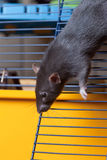 Young black rat. Black curious domestic rat in a cage Stock Photos