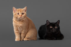 Young black and red british kittens Royalty Free Stock Images
