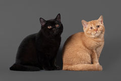 Young black and red british kittens Stock Images