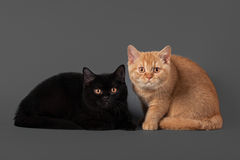 Young black and red british kittens Royalty Free Stock Image