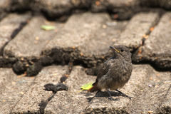 Young Black Redstart Stock Photography