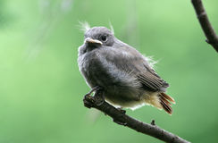 Young black redstart. Black redstart sitting on a branch royalty free stock photos