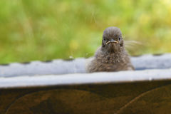 Young Black Redstart Stock Photo