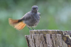 Young Black Redstart Royalty Free Stock Photography