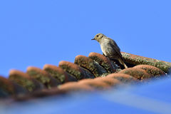 Young Black redstart Royalty Free Stock Photos