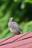Young Black Redstart Royalty Free Stock Photo