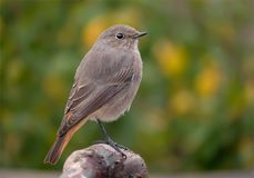 Young Black redstart perched in simple conditions royalty free stock photography