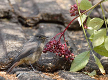 Young Black Redstart Royalty Free Stock Image