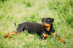 Young Black Rottweiler Metzgerhund Puppy Dog Play In Green Grass Royalty Free Stock Photo