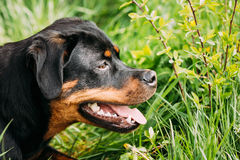 Young Black Rottweiler Metzgerhund Puppy Dog Play In Green Grass. Funny Young Black Rottweiler Metzgerhund Puppy Dog Play In Green Grass In Summer Park Outdoor stock images