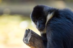 Young Black Siamang Stock Photo