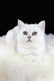 Young black silver shaded cat lying on white sheepskin Stock Images