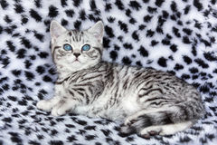 Young black silver tabby spotted british shorthair cat  lying on Stock Photos