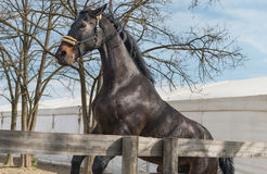 Young black stallion Royalty Free Stock Photography