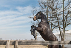 Young black stallion Royalty Free Stock Images