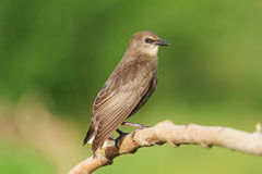 Young black starling sits on a branch Stock Photos