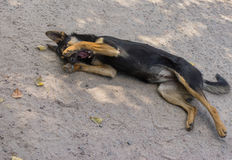 Young black stray dog having rest on a street surface. Being happy and embarrassing Royalty Free Stock Images