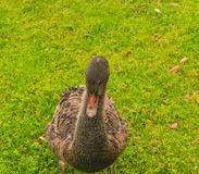 Young black  swan Stock Photo