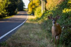 Black Tail Deer Next To Road royalty free stock photo