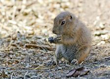 Young black-tailed prairie dog Royalty Free Stock Photos