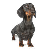 Young black and tan dachshund Royalty Free Stock Photos