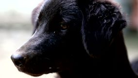 Young black thai dog stock video footage