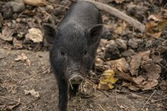 Young, black Vietnamese Pot-bellied pig close-up. Portrait photo with leaves on the ground. Looking into the camera stock images