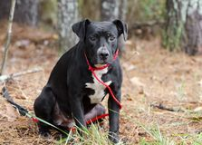 Young black and white American Pitbull Terrier mixed breed dog sitting stock image