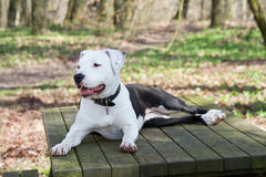 Young black and white amstaff dog at the park Royalty Free Stock Images