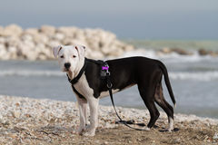 Young black and white amstaff dog at the sea Stock Images