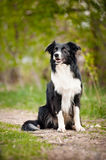 Young black and white border collie dog Stock Images