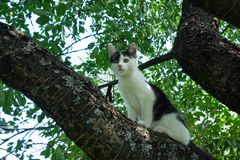 Young black and white cat on cherry tree branch among green foliage. Ready to jump. Bottom view. Stock Photo