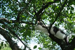 Young black and white cat on cherry tree branch among green foliage. Ready to jump. Bottom view. Royalty Free Stock Image