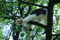 Young black and white cat on cherry tree branch among green foliage. Ready to jump. Bottom view. Stock Photos