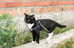 Young black-and-white cat is walking on harness on the wooden beam along brick wall in summer . Royalty Free Stock Images